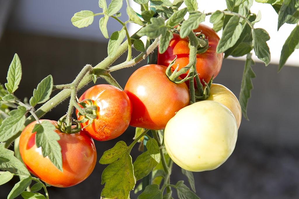 Tomato Bunch