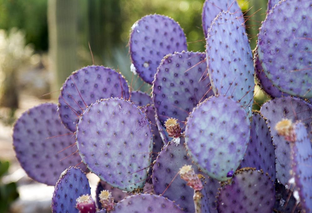 purple desert cactus at family dude ranch vacation