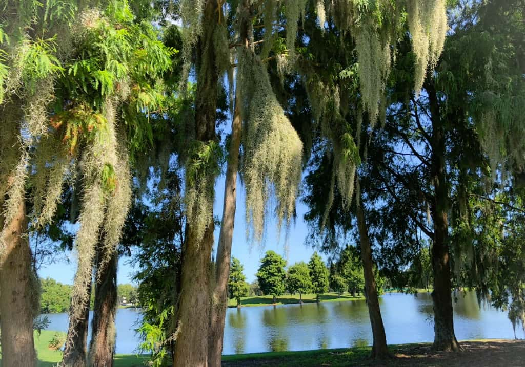 spanish moss on golf course trees