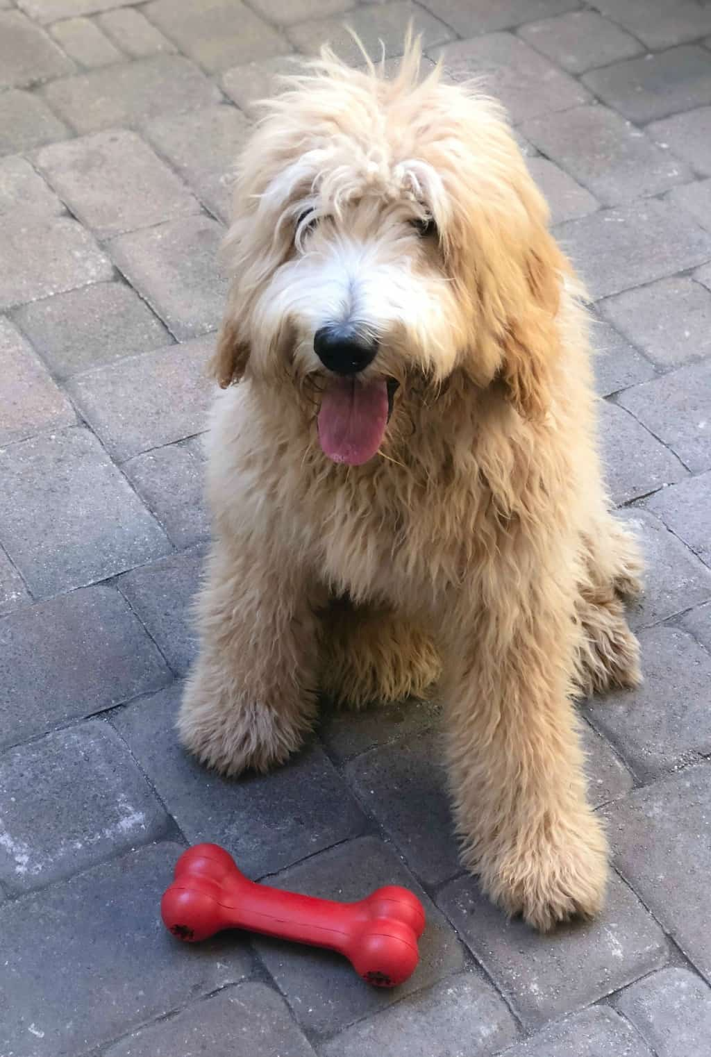 apricot goldendoodle dog with bone