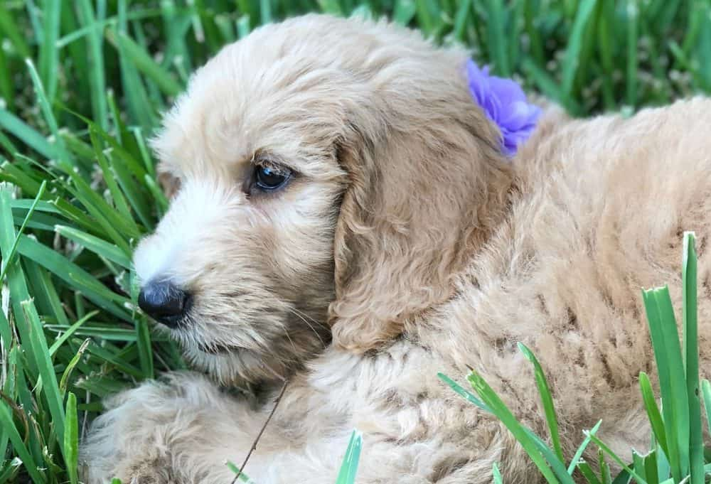 goldendoodle puppy lying in grass