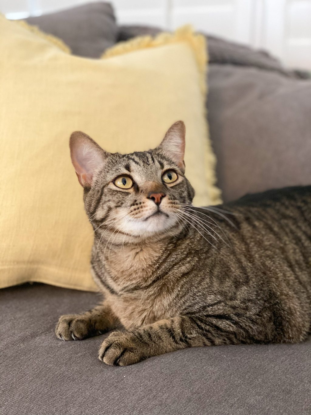 adult tiger tabby cat leaning on yellow pillow on gray couch