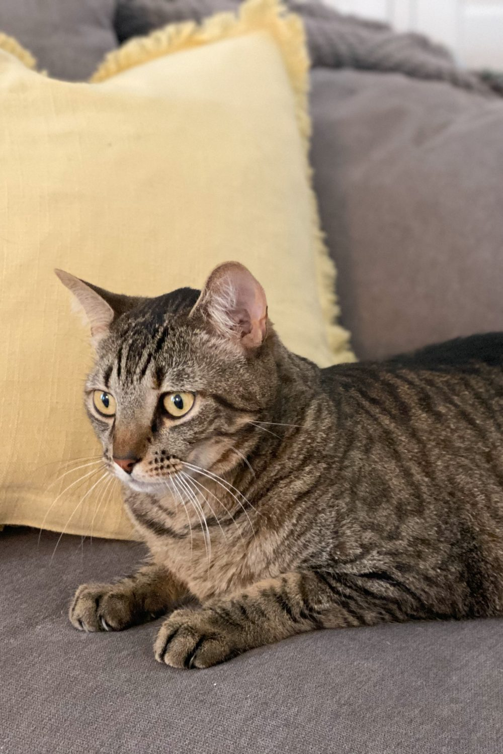 brown tiger tabby cat on grey couch