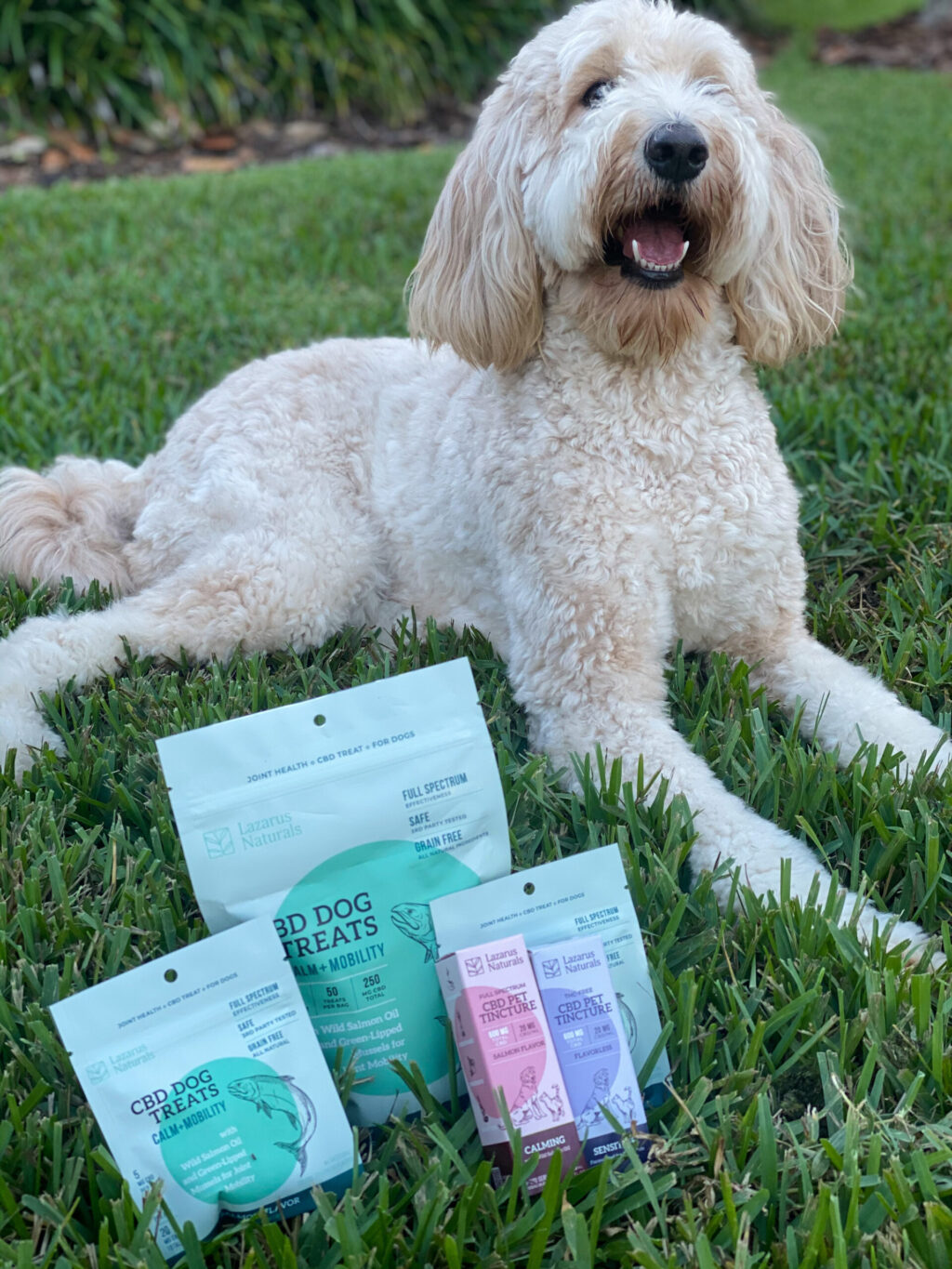white goldendoodle sitting in grass next to cbd products for dogs